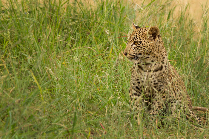 If the cub gets left behind for any reason, it will instinctively take cover in the grass or bushes. - James Tyrrell