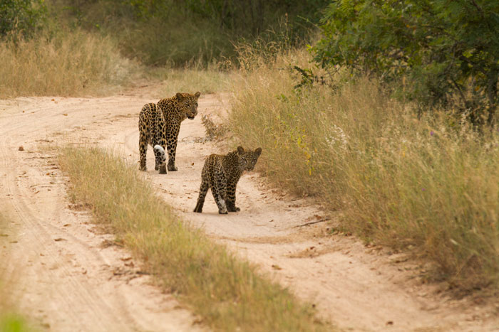 The Mashaba female checks on her cub and the cub checks on us... - James Tyrrell