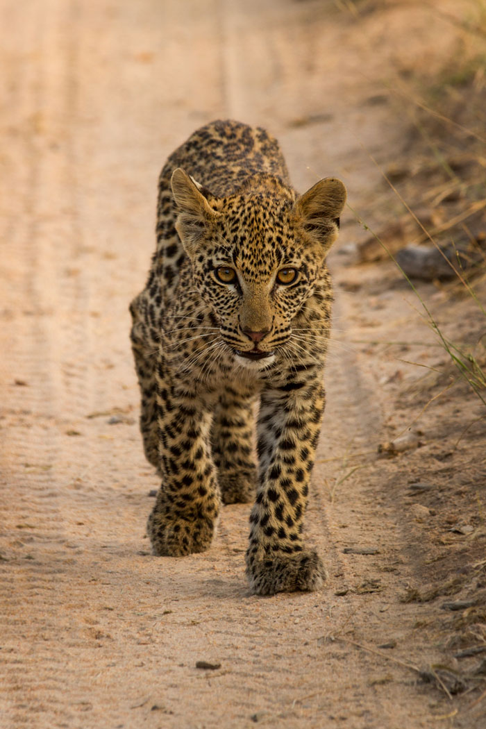 A wonderfully relaxed cub walks confidently towards the vehicle. - James Tyrrell