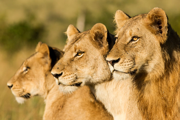 The diversity of the lions in the Southern Pride is what I love. Young males, young females, older lionesses and cubs; when in a sighting with them, wherever you look there is a lion of a different shape and size.