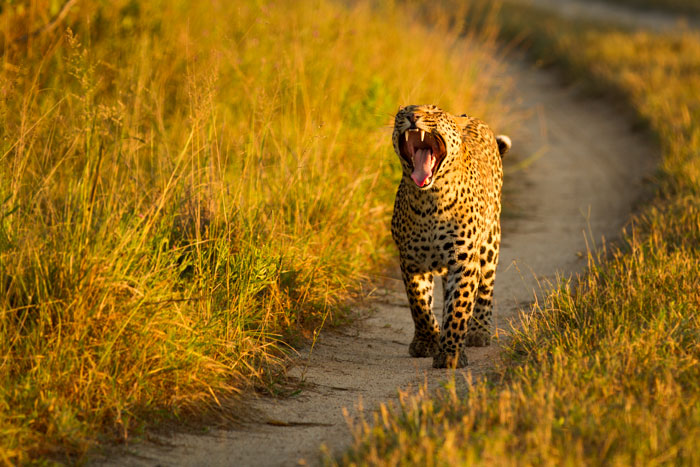 The mashaba female yawns broadly in the dawn light. She followed a scent trail into thick Combretum thickets on this particular morning, straight to where the Marthly male was scaring the Camp Pan male away from a kill. If that wasn't enough, she then led us back to where she had stashed her cub. A crazy morning in the bush!
