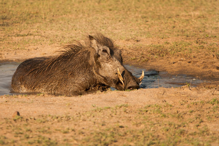 A large male warthog takes advantage of a wallow while it still has water in it. The ephemeral pans are steadily drying up as winter approaches