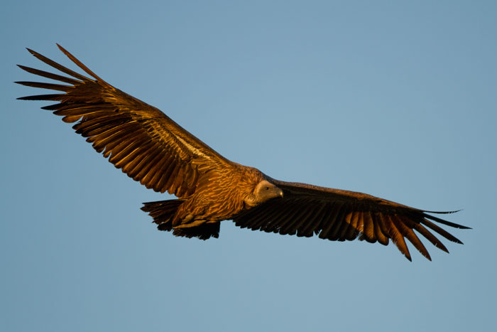 A whitebackd vulture comes in for a landing as the Majingilane male moves the giraffe carcass...