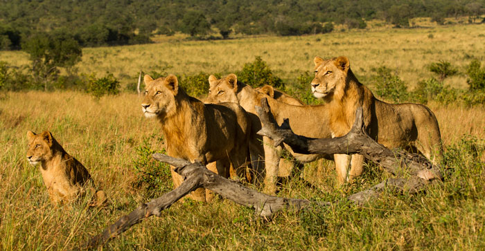 My favourite lions: the Southern or Selati Pride. The largest pride in the Sabi Sands, they are not often seen on our property, but provide wonderful viewing when they do appear. They might be around for awhile if the turmoil between the males to the south does not resolve itself soon.