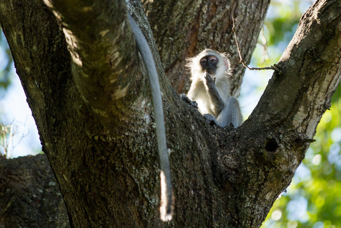 A young vervet monkey ponders life while his mother sits nearby.
