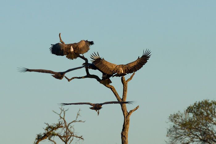 A bit of chaos as some whitebacked vultures all try to land on the same dead knobthorn simultaneously.