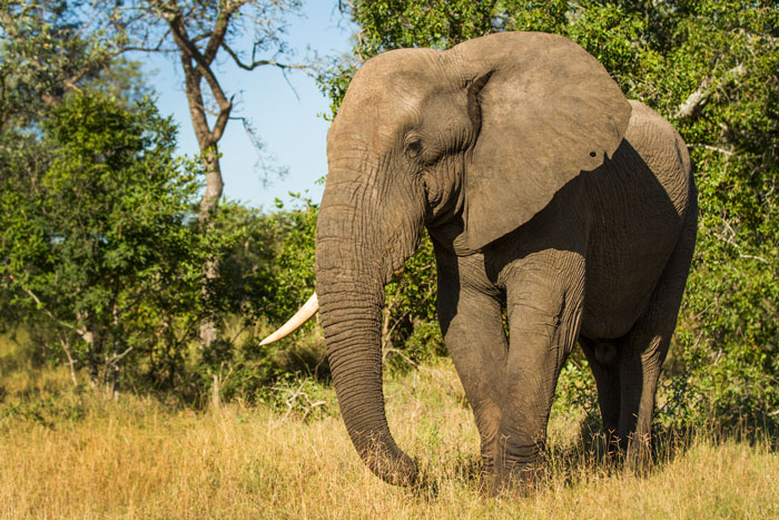A magnificent bull elephant stands nonchalantly nearby. His left tusk gone, it could have been broken off in a fight with a rival male or snapped while uprooting a tree.