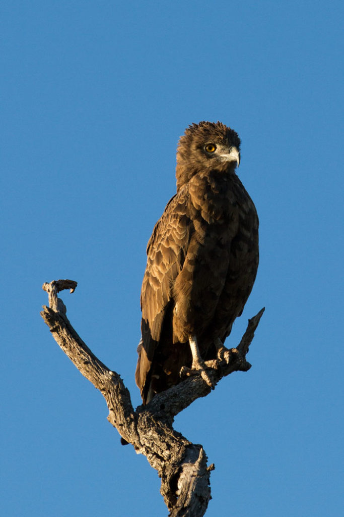 A brown snake eagle surveys his domain on a chilly Autumn morning. The large heads of these eagles make them identifiable froma long way off, and once up close, their distinctive yellow eyes render this species unmistakeable.