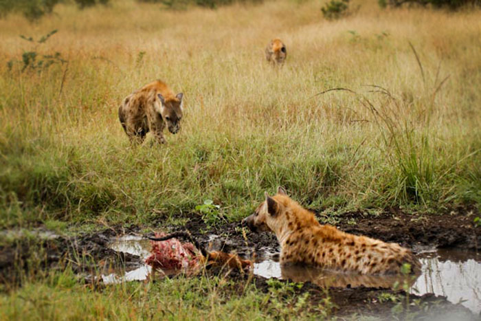 A hyena lies in a small pan with the remains of the impala while it's clan-mates move in.