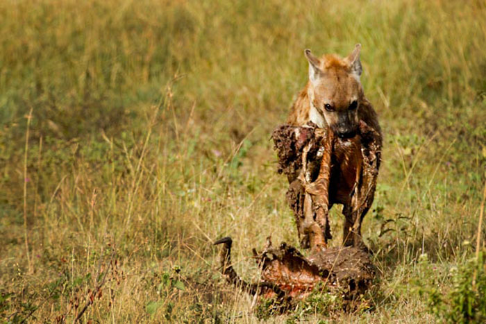 While a leopard will feed on the carcass of an adult impala ram for up to 3 days, a single hyena can devour half the same carcass in under 20mins!