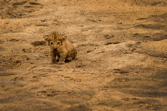Not fazed by the vehicles presence, such a young cub would usually be far more nervous near a Land Rover. Too be honest, it is probably too small to even know it's a lion yet!