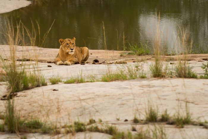 This lioness was lying on the rocks in front of Granite Camp. The male she was mating with was acting aggressively, not happy with the people moving around on deck. I nearly fractured my arm when he burst out of the bushes onto the rocks again, and rushing forward to capture a photo, I slipped on a wet plank and took the hit on my elbow while trying to keep my camera safe. By the time I picked myself up, he was gone again!