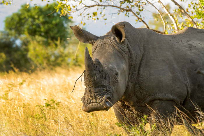 A large white rhino. Mud on his horns and moving through the grasslands, this male epitomizes
