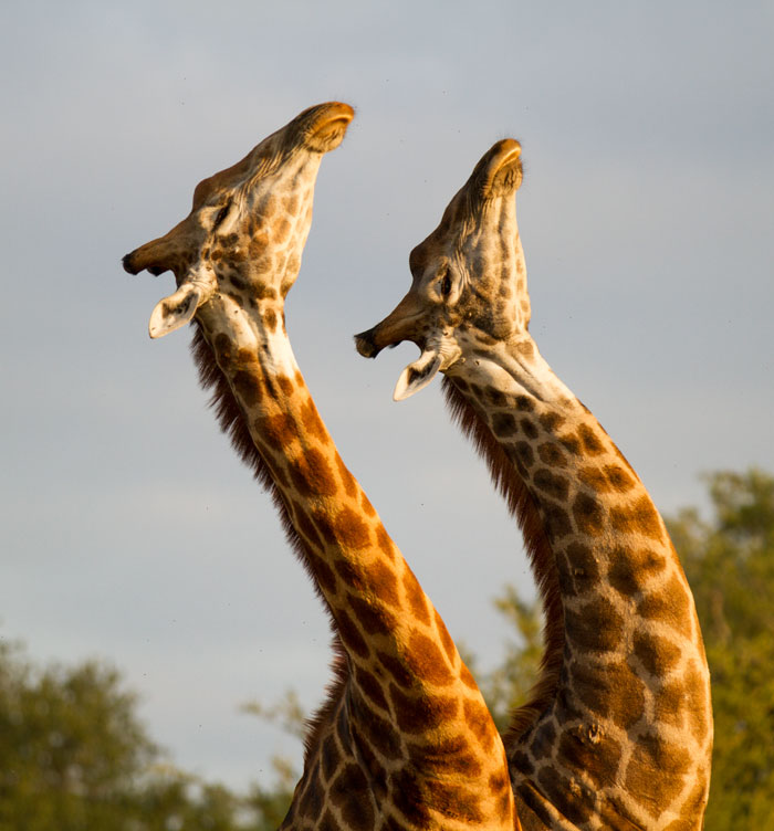 Their necks arched and eyes closed as though in ecstasy, these two bull giraffe were in fact fighting for the attention of a female nearby, swinging their necks into each other with sledgehammer-like blows.
