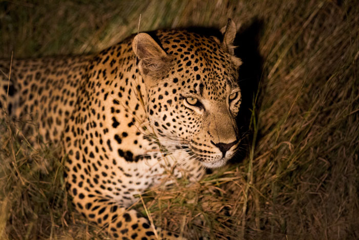 The Maxabene 3:3 young male. This male has spent the last two years in the South Western reaches of Londolozi, but of late he has been seen more and more near the Maxabene from which his mother got her name.