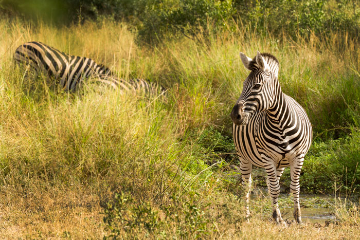 A Burchell's zebra startles at a nearby bird call while some of his dazzle-mates grab a drink nearby. Zebras are nervous animals near water, knowing the possibility of predator lurking in wait, and any approaches to waterholes are made with due caution.