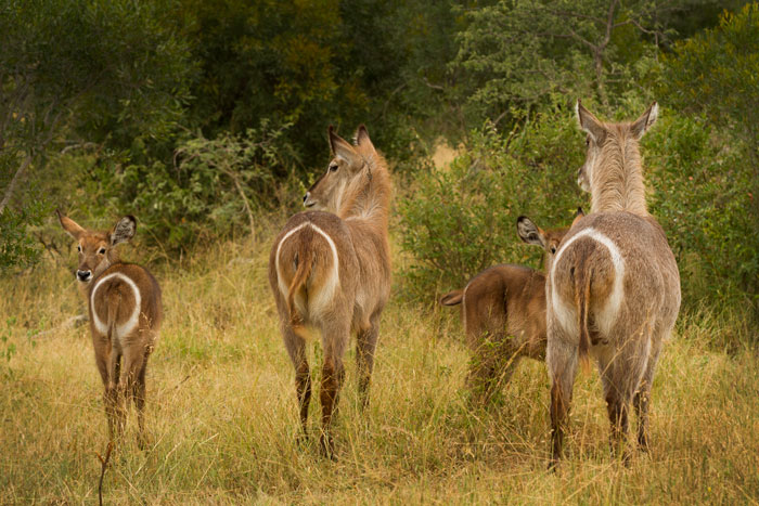 Waterbuck get their name from their propensity to run into water when threatened. Here they are nowhere near the stuff.