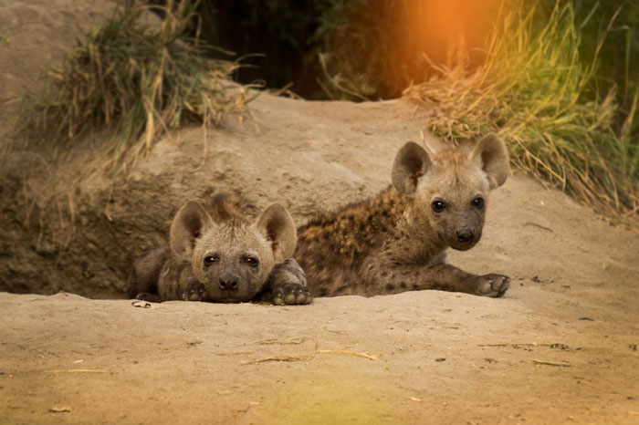 The hyena densite off Xidulu has once more risen to prominence in recent months. While still relatively inconsistent, we are seeing far more youngsters around the den than during most of last year, and these two were relaxed enough to let us get relatively close.