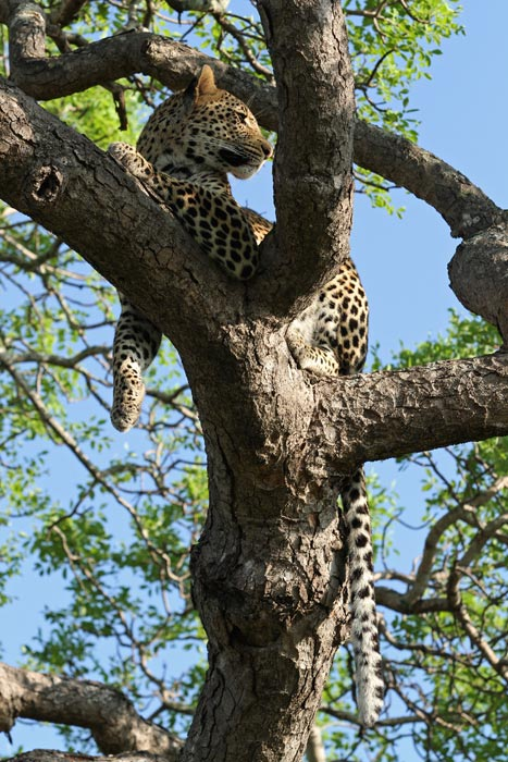 Safe for the moment in the higher and thinner boughs of the marula, the Tutlwa young male regains his breath.