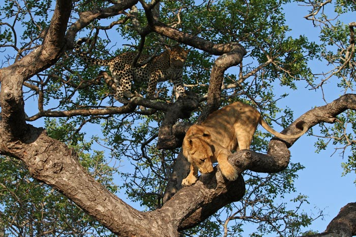 Lions are not the most graceful of climbers, and are completely outmatched in the treetops by leopards. Their vastly superior strength, however, can result in deadly consequences for a leopard should it find itself cornered.