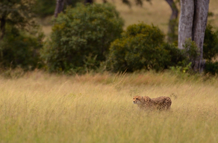 The cheetah has left her cubs in the thicket behind her and is stalking through the long grass Nikon D800 1/8000s f/4 ISO12500 - Photographed by Chris Kane-Berman