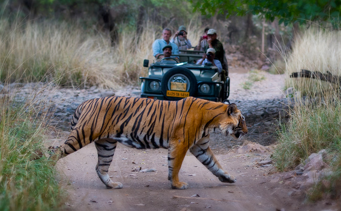Tiger Safari India Ranthambore