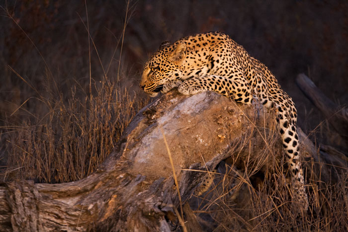 The Tamboti female, pre-cubs. She had been mating with both the Camp Pan male and Maxabene 3:2 young male leopards before this, and we are still unsure as to who the father of her cubs is.