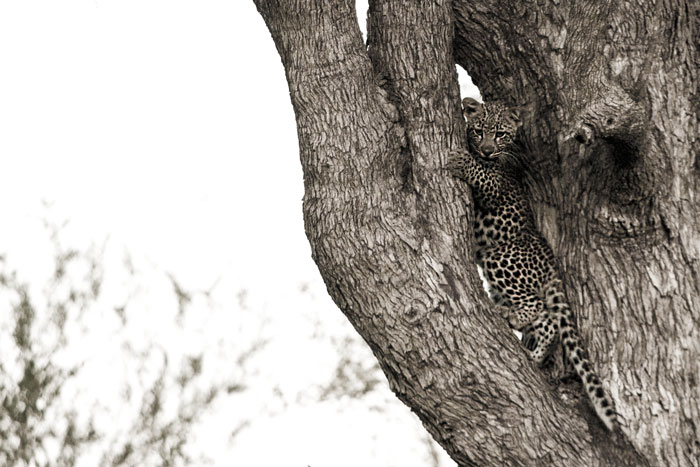 The cub of the Piva female hides from some hyenas in the fork of a leadwood tree. This cub has not been seen for many months on Londolozi.