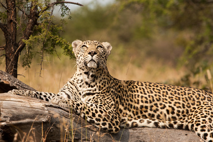 The Notten's female, still going strong at almost 18 yrs old, watches a bateleur eagle fly overhead.