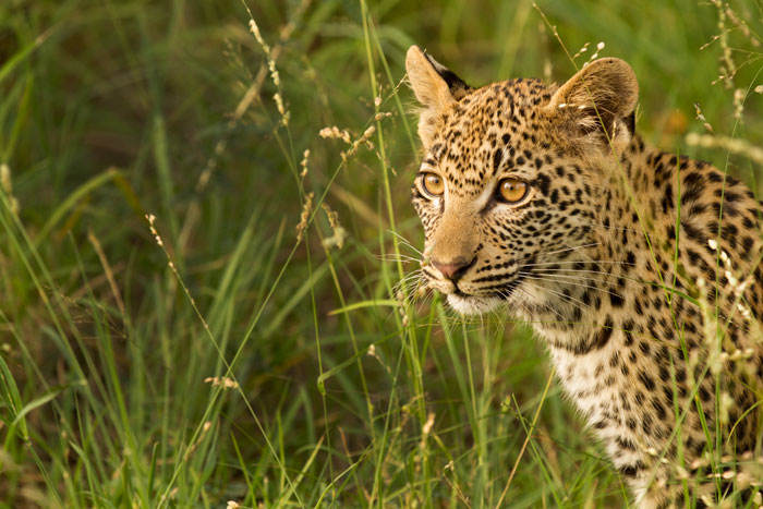 The cub of the Mashaba female leoapard .