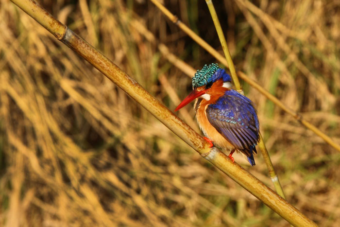The azure blue of a malachite kingfisher is one of the most beautiful colours in nature.