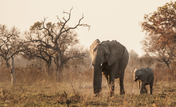 A mother elephant and calf make their way across a recently burnt and very dusty part of the reserve.