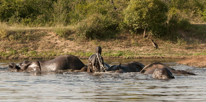 One of my favourite things to watch; elephants swimming. Elephants are one of the few species who can on occasions be seen to simply be full of the joys of life! We lost no time in telling every nearby ranger to hurry to the waterhole, as this was one sighting not to be missed!