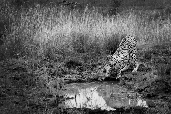 The male cheetah snatches a quick drink from Weaver's Nest Pan before a nearby herd of buffalo pressured him into leaving the area.