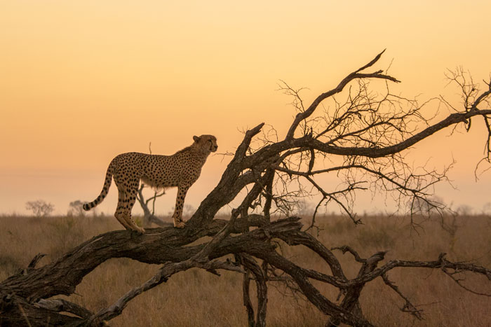 The Male cheetah seems to enjoy watching the sunsets as much as we do.