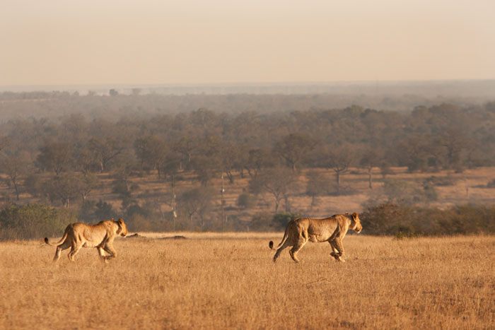 Two of the Tsalala Breakaway lionesses cross the Londolozi airstrip on a chilly winter's morning. At least two of these lionesses are currently believed to have cubs. One has been denning in the Munghen Drainage system and the other is believed to be keeping cubs in the Sand River (so far only tracks have been seen).