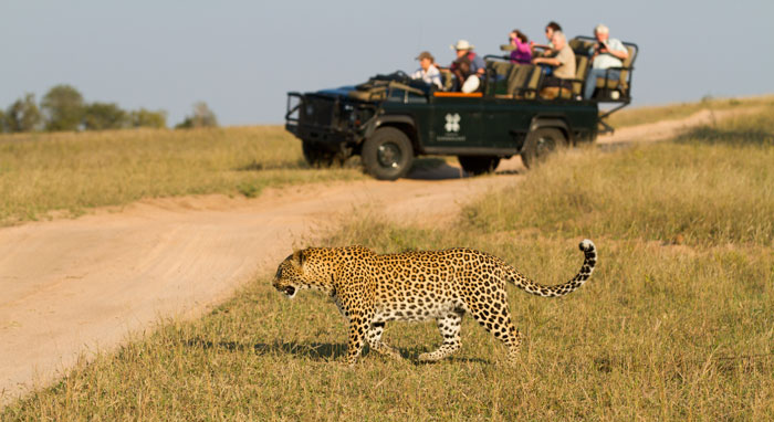 The Mashaba female heads out into open ground while ranger Jess Boon and guests drive ahead for a photo of the leopard approaching them.