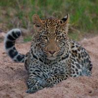 Vomba Female Cub - Rich Laburn