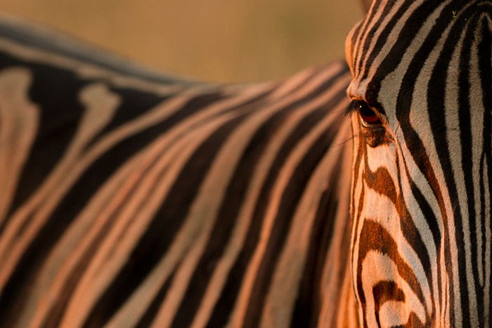 The vertical stripes on the face of this young Burchell's Zebra stallion make this photo for me.