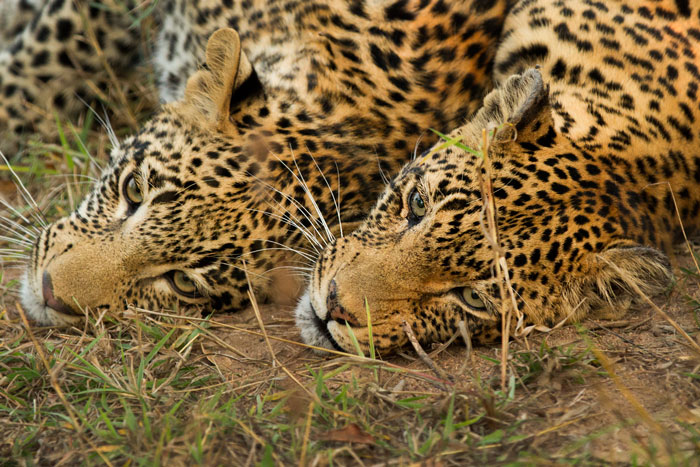 Leopard symmetry, as the Vomba female and her cub lie next to each other shortly after reuniting one evening.
