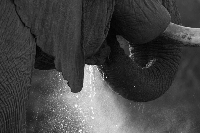The morning sun catches the spray as a bull elephant drinks from Circuit Pan.
