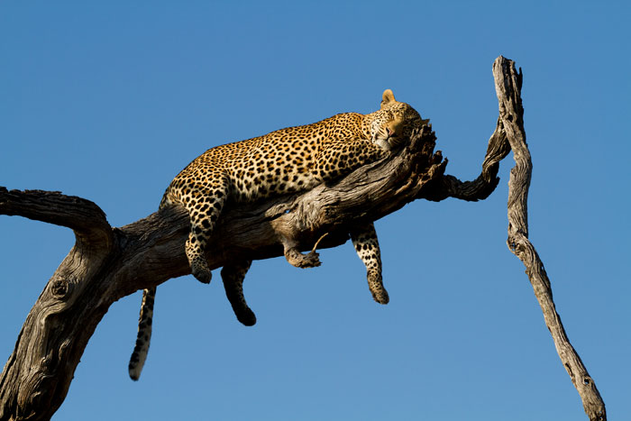 One of the most amazing leopard-in-tree sightings i have ever been privileged enough to bear witness to, as the Nyelethi 4:3 young male climbed a dead leadwood tree above us after we had followed him through long grass for about 15 minutes.