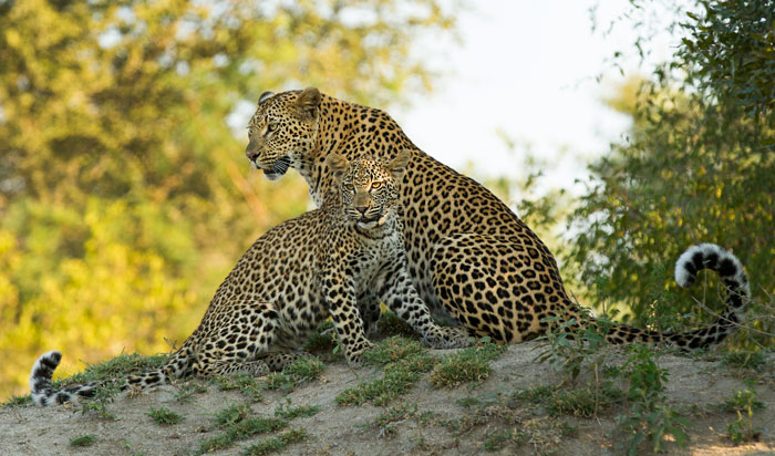 The Mashaba female and cub. Spending an exorbitant amount of time around Vomba Dam and the Strip Donga, both of which lie relatively close to camp, sightings of theses two beautiful leopards have been fairly frequent of late.