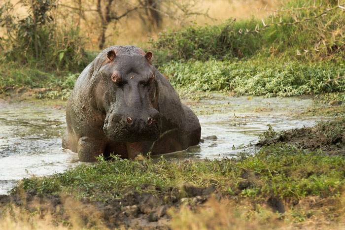 A rather disgruntled hippo contemplates his rather dismal wallow at Sable Boma Pan. As winter approaches, wallows and waterholes begin drying up, leaving little space left for the hippos and resulting in rising tensions between them