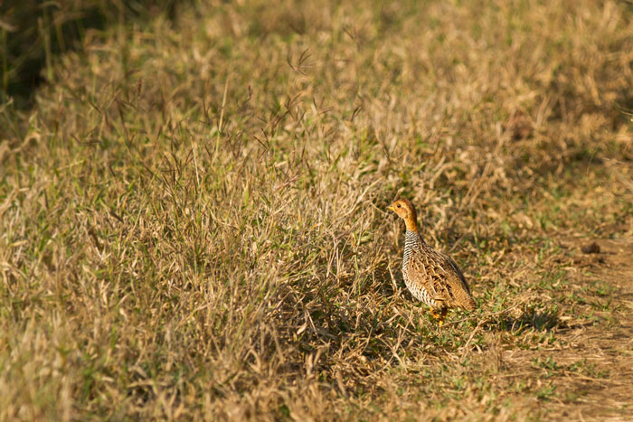 Another rarely seen francolin, this time the Coqui.  Like the Shelley's, the Coqui also favours long grass, and is also heard far more often than it is seen.