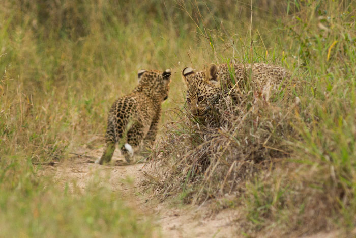 The cubs were within 10 metres of the vehicle yet barely looking at us.