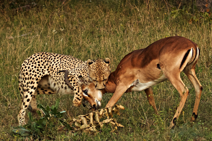 An adrenaline pumping chase, he netted a young male impala who had been paying more attention to his rutting.