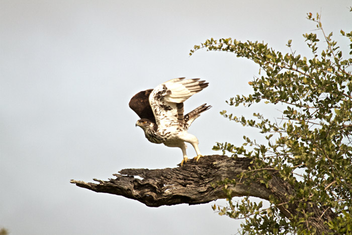The African Hawk Eagle takes off towards a confusion of Guinea fowl.