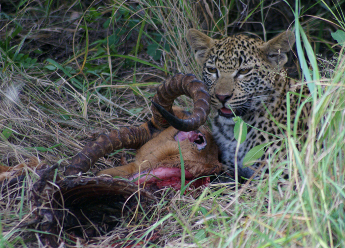 Vomba's cub with an impala carcass - Bennet Mathonsi