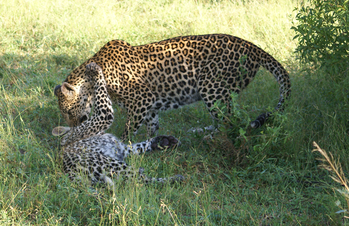 The Vomba Female playing with her cub - Bennet Mathonsi
